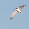 Gull-billed Tern - Lachstern