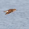 Common Sandpiper - Oeverlloper