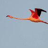 Greater Flamingo - Flamingo