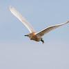 Squacco Heron - Ralreiger