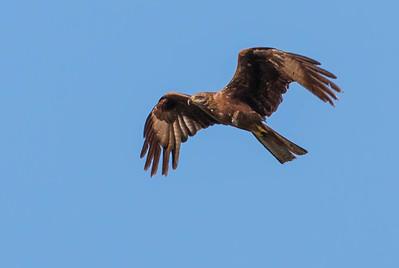 Black Kite - Zwarte Wouw