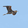 Purple Heron - Purperreiger