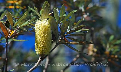 Banksia, Eli Creek