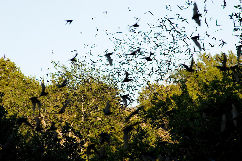 Bats leaving the Old Tunnel gain altitude and fly off into the evening sky.