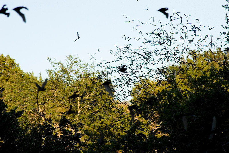 Bats exit the Old Tunnel and fly off into the evening sky in search of their dinner.