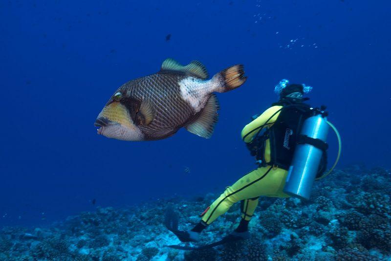 Douglas Seifert and a titan triggerfish (Balistoides viridescens)(Tikehau - Pass Corner)