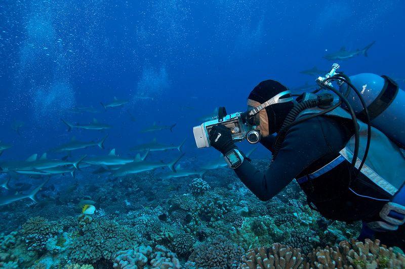 Ron Taylor film grey reef sharks (Carcharhinus amblyrhynchos) (Fakarava - South Pass)