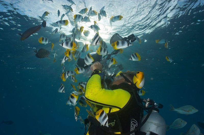 Douglas Seifert photographs sadde butterflyfish (Chaetodon ulietensis) (Rangiroa - The Aquarium)