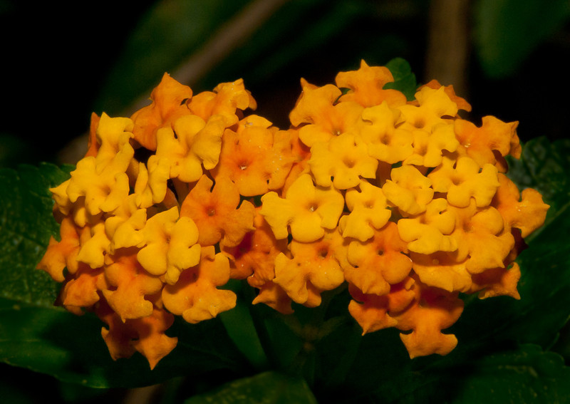 • Bonnet House Museum and Garden<br /> • Gold Lantana Flower