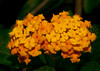 • Bonnet House Museum and Garden<br /> • Gold Lantana Flower