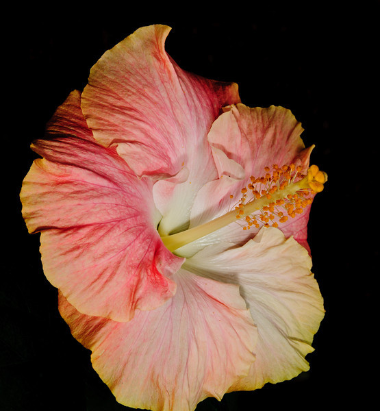 • Bonnet House Museum and Garden<br /> • Hibiscus rosa-sinensis