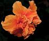 • Bonnet House Museum and Garden<br /> • Fancy Orange Hibuscus