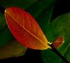 • Bonnet House Museum and Garden<br /> • Interesting Leaf Pattern