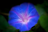• Bonnet House Museum and Garden<br /> • Morning Glories (Ipomoea)