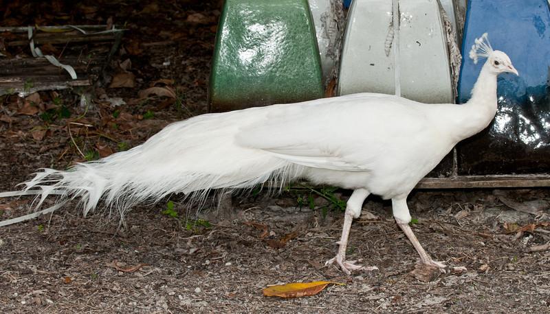 • Flamingo Gardens<br /> • White Peacock