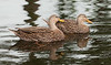 • Flamingo Gardens<br /> • Pair of Mottled Ducks