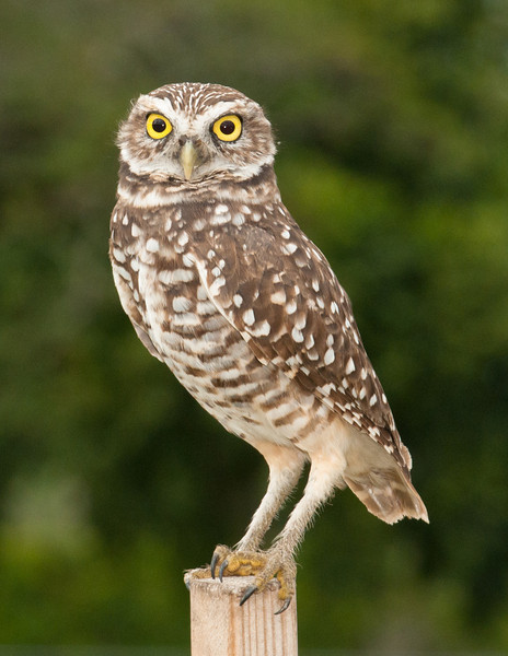 • Brian Piccolo Park<br /> • Burrowing Owl