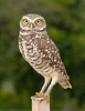 • Brian Piccolo Park<br /> • Burrowing Owl