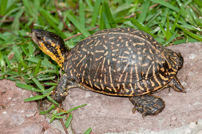 • Flamingo Gardens<br /> • Florida Box Turtle<br /> • Terrapene carolina bauri