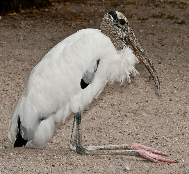 • Flamingo Gardens<br /> • Wood Stork
