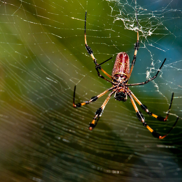 I saw this Golden Orb-Weaver Spider while walking on the Hammock Trail in the Taylor Birch State Park