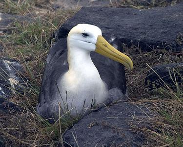 Albatross - Espanola Island