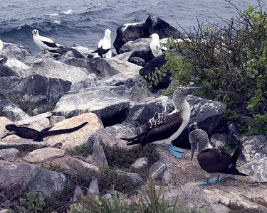 Blue-footed bobbies and friends - Espanola Island