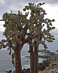Cactus - Giant Opuntia cactus