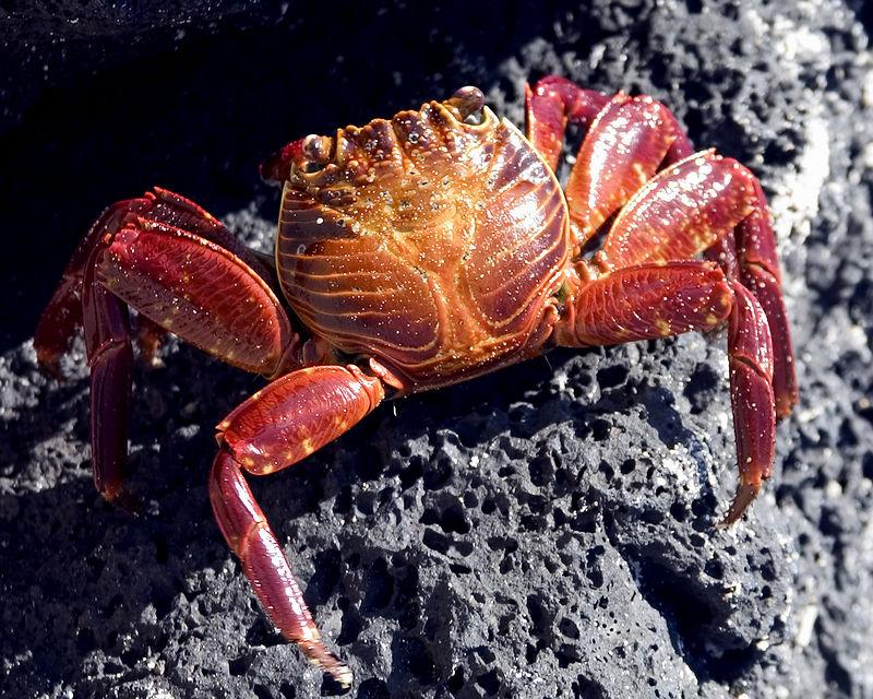 Crab -Sally lightfoot crab - San Cristobal Island