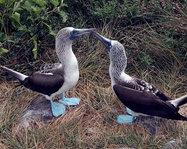 Blue-footed Booby mating dance - Espanola Island