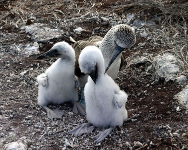 Blue-footed Booby with chicks - Espanola Island