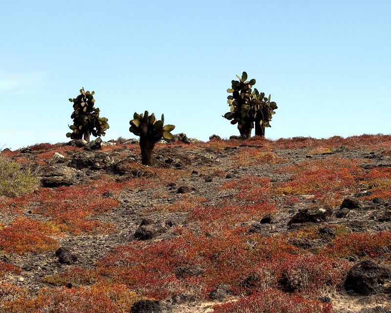 Cactus - Opuntia cacti and red scrub brush