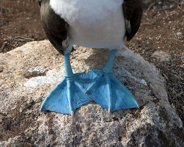 Blue-footed Booby - Espanola Island