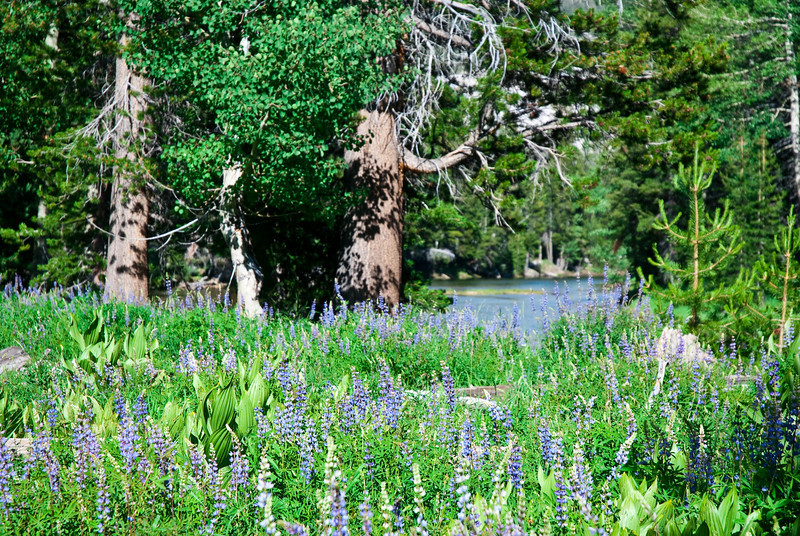 Lupine and Corn Lillies