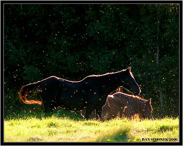 """SUMMER SNOWSTORM"", (actually the white spots are flies), Glenora Guest Ranch, B.C., Canada-----""LETNI VANICE"", (bile tecky jsou mouchy)."