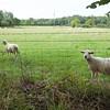 Ampfield: Sheep in field near Potters Heron Hotel