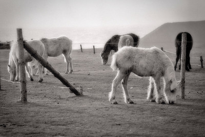 Gower Ponies, Worms Head