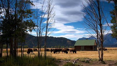 Bison - Mormon Road - Grand Tetons