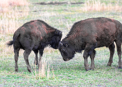 Young Bison Battle 9663