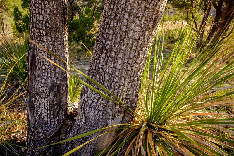 ALLIGATOR JUNIPER TREES