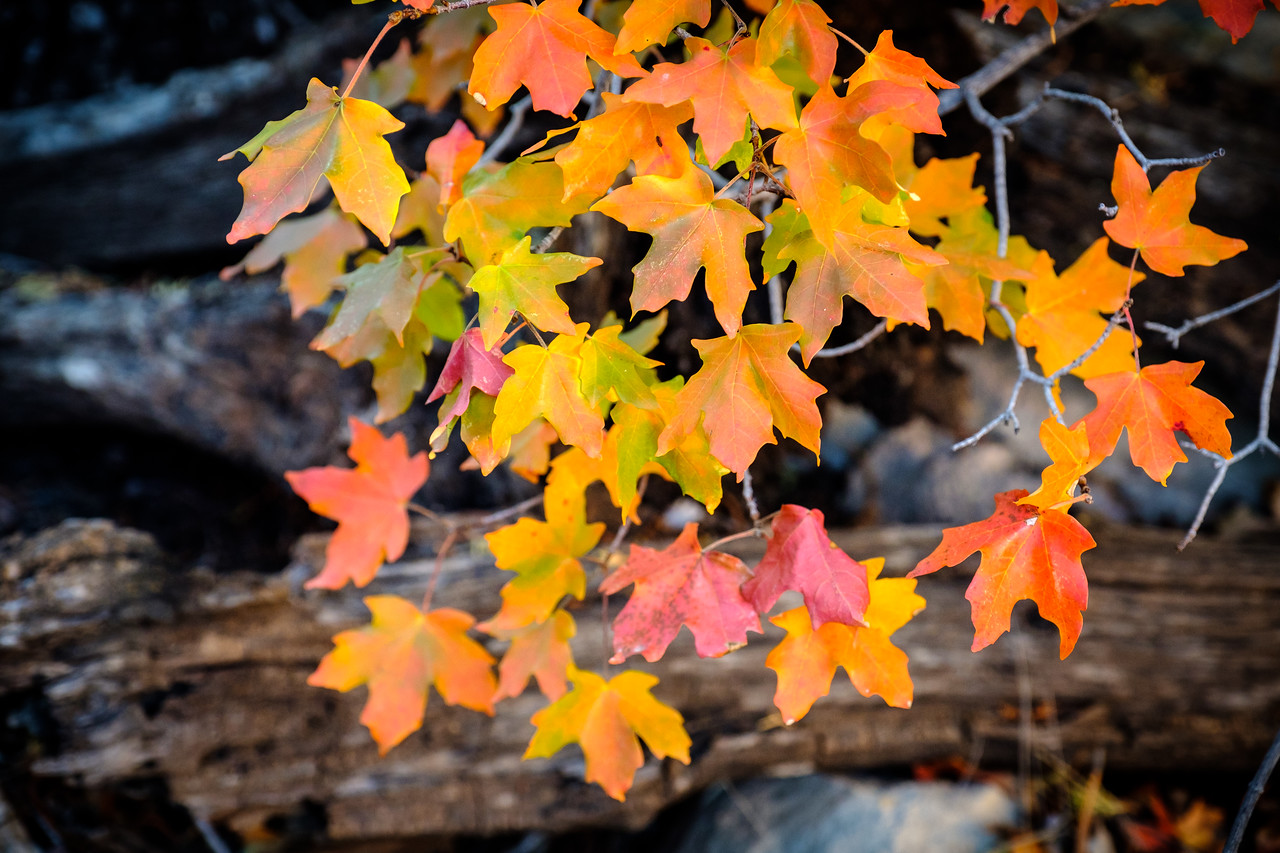 BIG-TOOTHED MAPLE TREE LEAVES