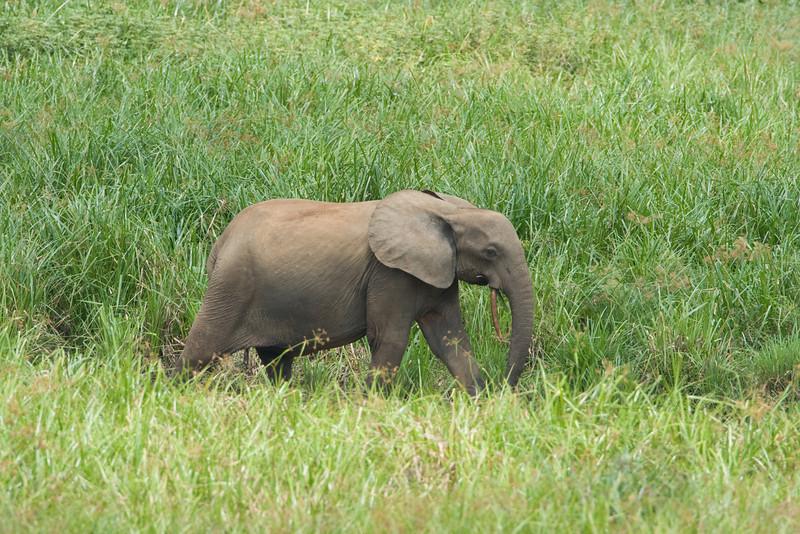 Elephant at Langoue Bai.