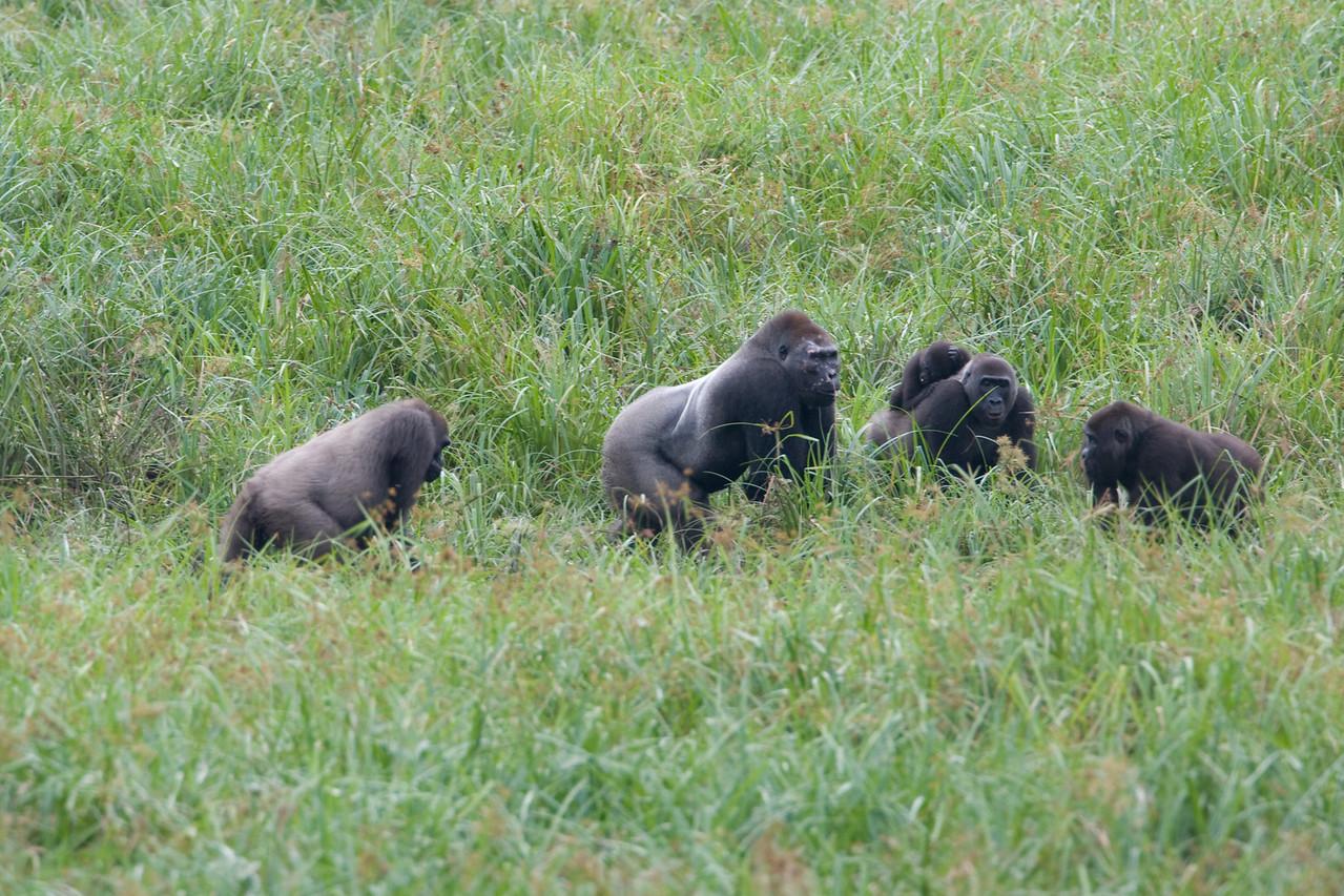 Gorilla family.  Note the Silverback (dominant male) in the center.