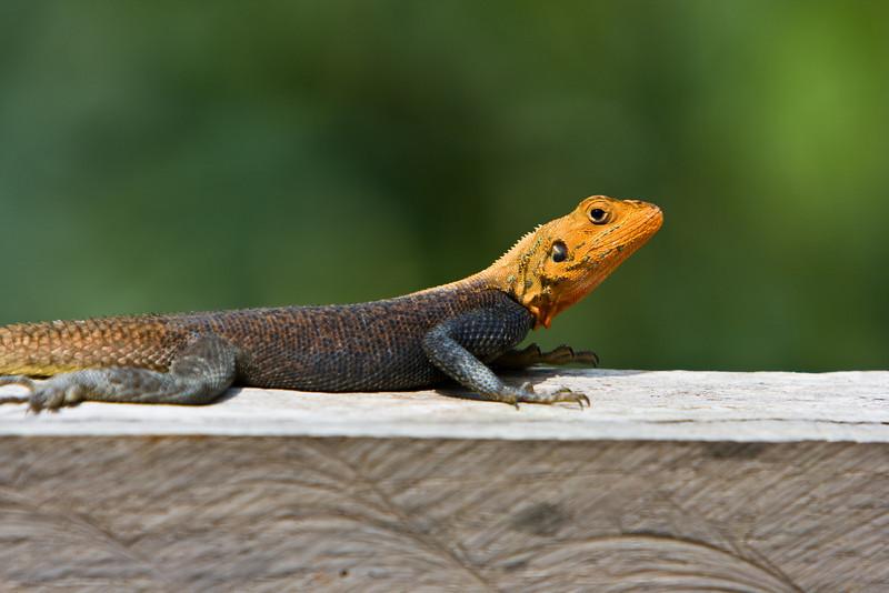 Lizard at Mikongo camp.
