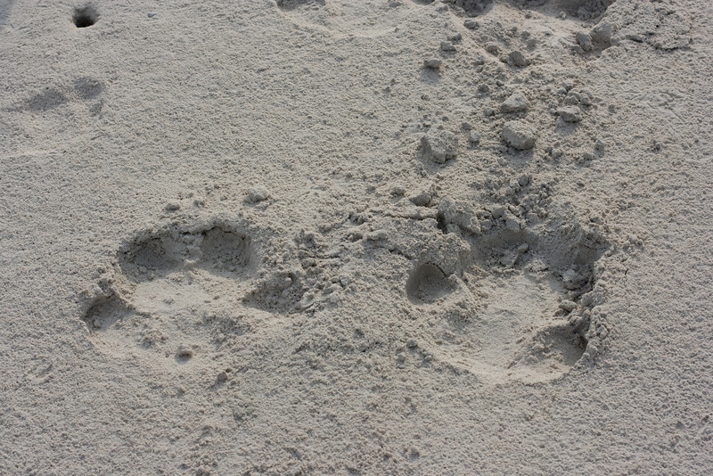 Hippo tracks on the beach.