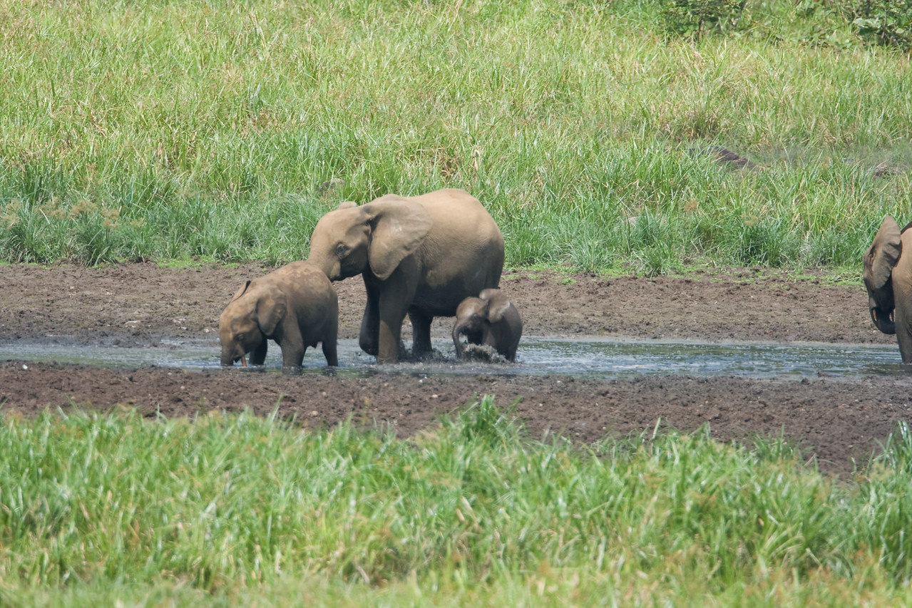 Elephant family at Langoue Bai.
