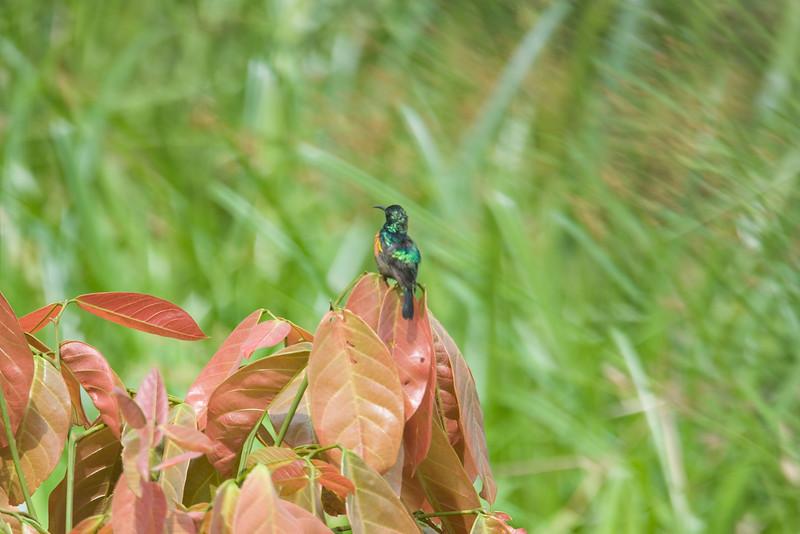 Sunbird at Langoue Bai.