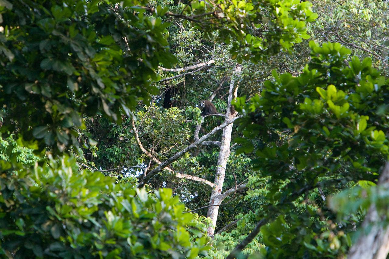 Monkey in a tree.