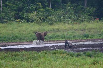Forest Elephant & Lowland Gorilla