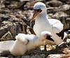 20. Nazca Booby and chick---Española Island.